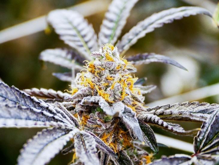 Shango Cannabis - Las Vegas, NV