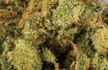 Goji OG: Sultry, Inspiring Sativa | DOPE Magazine: Cannabis News