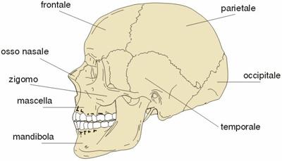 immagine anatomica del cranio con varie componenti ossee indicate, mascella e mandibola tra queste