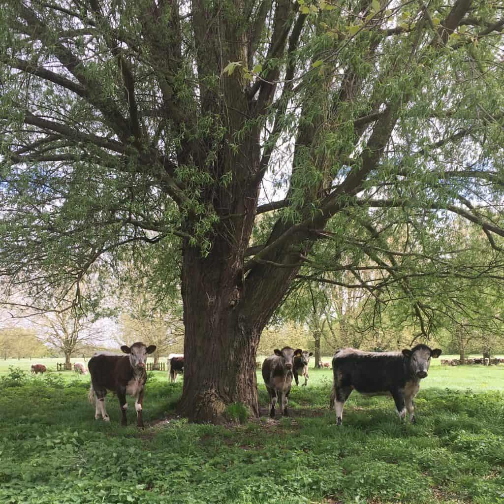 Cows under tree on Stourbridge Common Cambridge