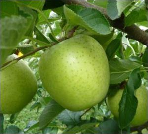 りんごの王林