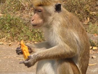 הקוף היה הרבה יותר תוקפני מאשר חמוד