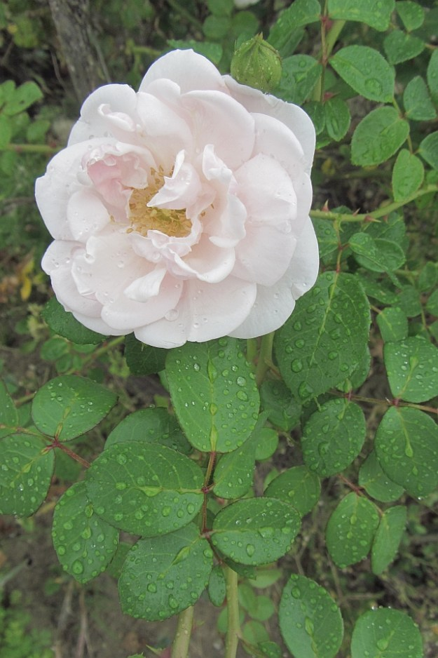 August pink rose