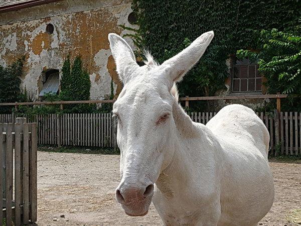 Die weißen Esel werden auf Schloss Hof wieder gezüchtet.