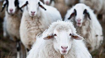 Kommisar Engel und die Politik der Schafe