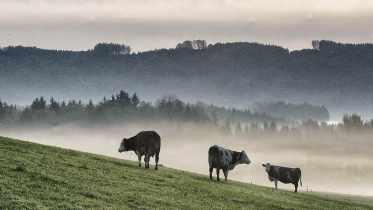 Rind auf der Weide