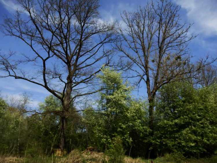 Gewaltige Bäume mit Misteln, dazwischen die blühenden Traubenkirschen