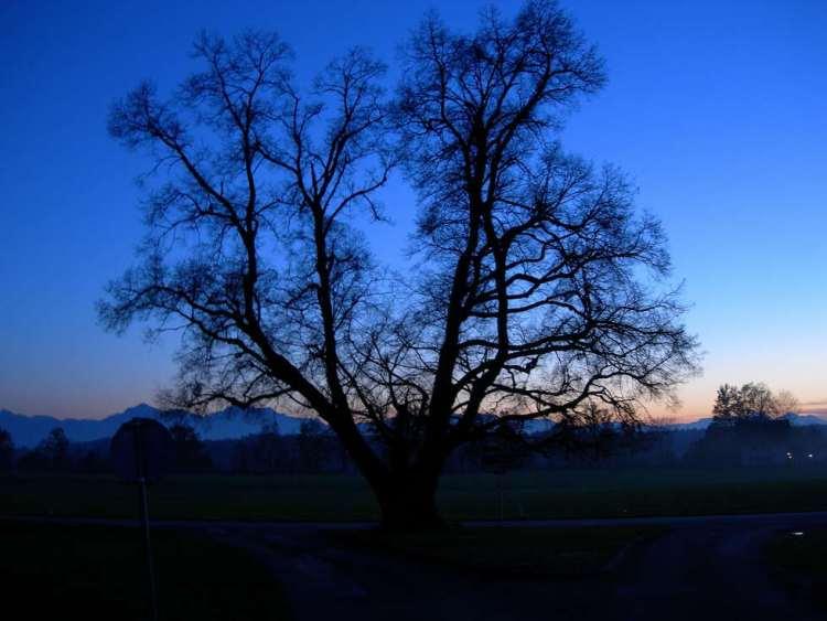 Die Linde von Aglassing nach Sonnenuntergang im Jahr 2005