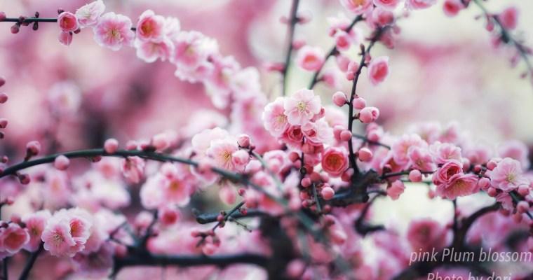 京都.北野天満宮  pinkの梅の花・Plum blossom❗️