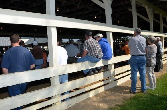 Heifer Auction (1)