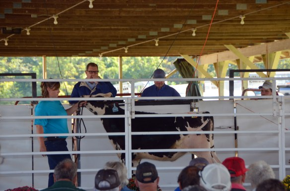 Heifer Auction (11)