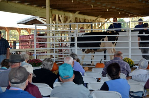 Heifer Auction (8)