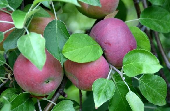 Sam's Orchard (13)