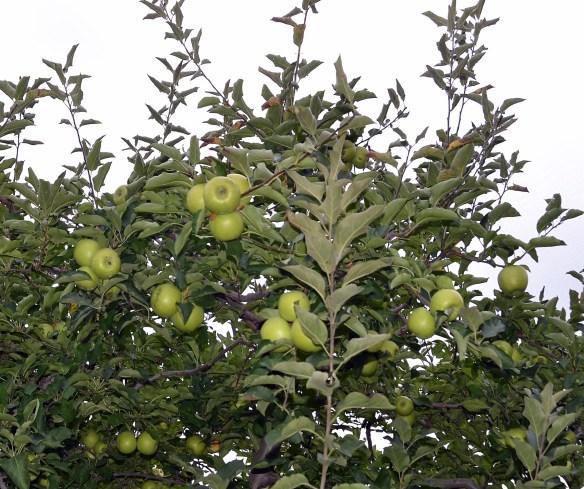 Sam's Orchard (2)