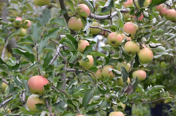 Sam's Orchard (3)