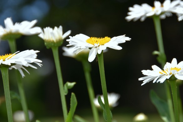 Daisies and a Wren (2)