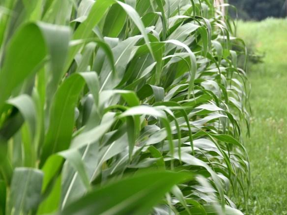 Corn (12)