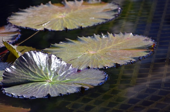 lily-pads-33