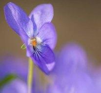 Virágszőnyeg borítja a Pilisi Parkerdőt