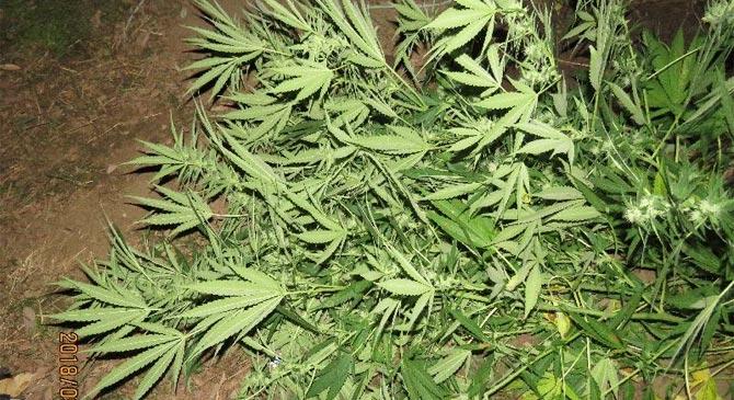 Kábítószert termesztett Bábolna térségében
