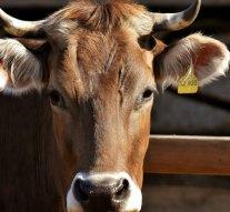 Fizetés nélkül hozta el a szarvasmarhákat Sárisápról