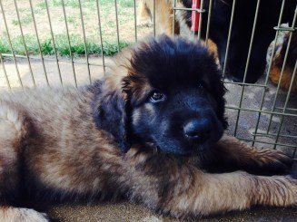 The 8-week-old Leonberger puppy is the culprit.
