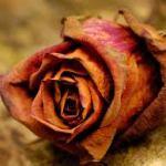 rose died
