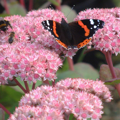 Red Admiral on Sedum 'Matrona'