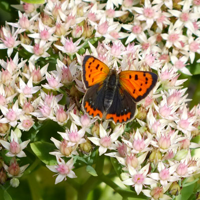 Small Copper on Sedum erythrostictum 'Mediovariegatum'