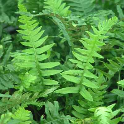 Polypodium Vulgare Dorset Perennials
