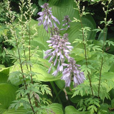 Hosta 'Sum and Substance' & Artemisia 'Guizhou'