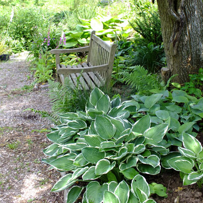 Hosta 'Francee' and Bench
