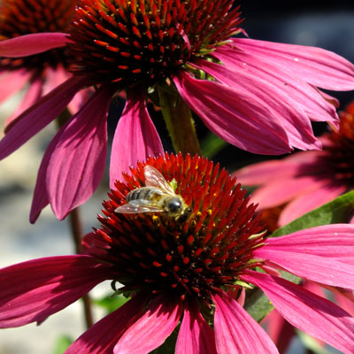 Echinacea 'Cheyenne Spirit' and honeybee