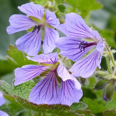 Geranium 'Philippe Vapelle'