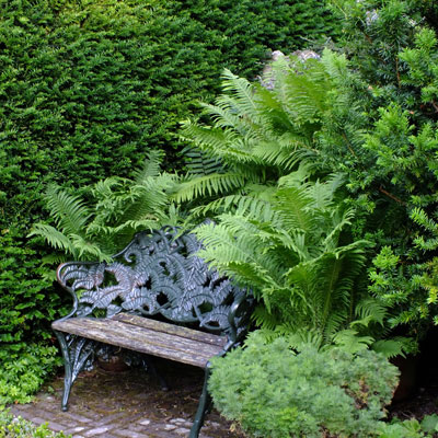 Matteuccia struthiopteris in pots with bench