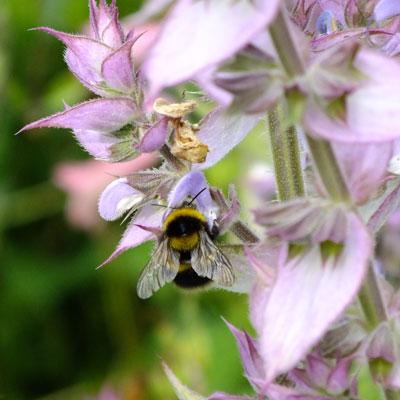 Salvia sclarea 'Turkestanica' (Clary) with bumblebee