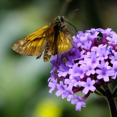 Verbena bonariensis with Large Skipper