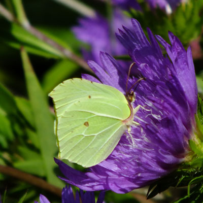 Stokesia 'Purple Parasols' with Brimstone