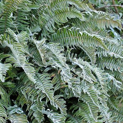 Polystichum munitum in frost