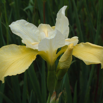 Iris 'Butter and Sugar' (sibirica)