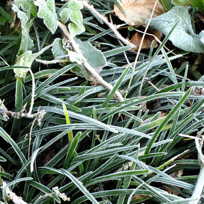 Ophiopogon planiscapus f. leucanthus with frost