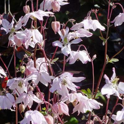 Aquilegia vulgaris var. stellata ( A. clematidiflora )