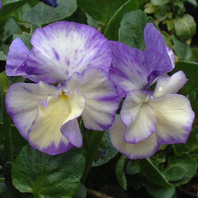 Viola 'Rebecca'