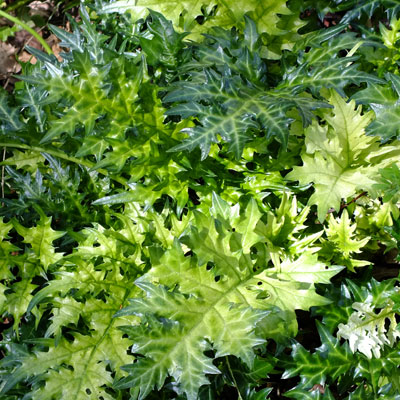 Acanthus spinosus 'Lady Moore' spring foliage