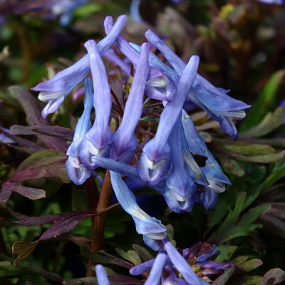 Corydalis 'Blue Dragon'