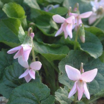 Viola odorata Rosea Group pale