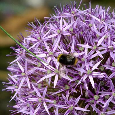 Allium (Mum's) with bumblebee