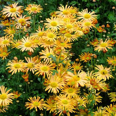 Chrysanthemum 'Mary Stoker'