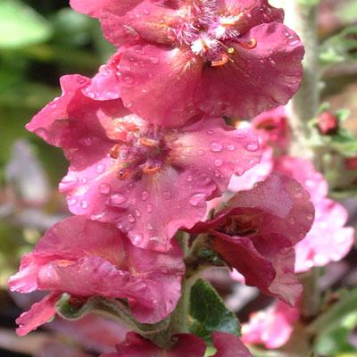 Verbascum 'Cherry Helen'