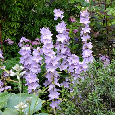 Campanula latiloba 'Hidcote Amethyst'
